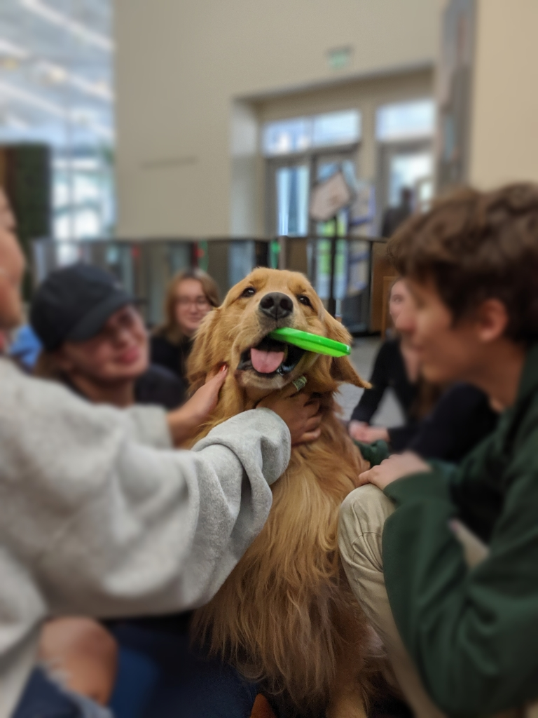 Brixton the Golden Retriever getting pets during Furriends for Midterms